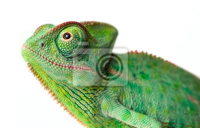 Papiers peints chameleon - Chamaeleo calyptratus on a branch isolated on white
