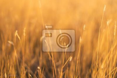 Papiers peints champ d'herbe de fétuque au coucher du soleil