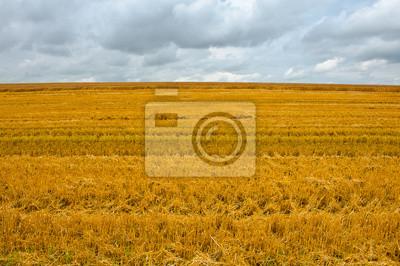 Papiers peints Champ de blé