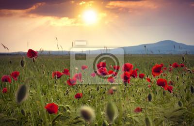 Champ de fleurs rouges vives de pavot de maïs en été