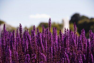 Papiers peints Champ de fleurs violettes