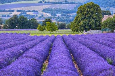 Papiers peints champs de Lavande en Provence