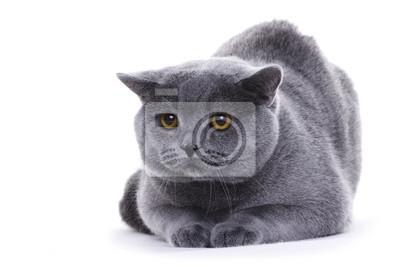 Chat assis sur fond blanc, British shorthair
