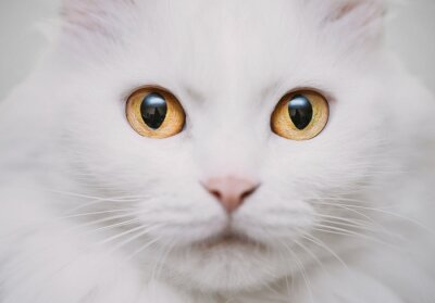 Papiers peints chat blanc