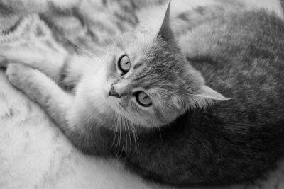 Papiers peints Chat britannique - noir et blanc