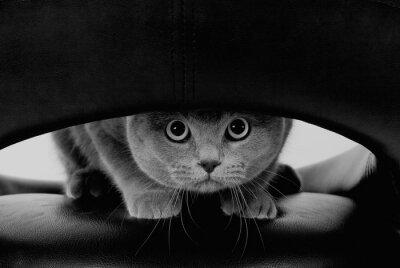 Papiers peints Chat écossais drôle avec de grands yeux ronds regardant à travers un trou (en noir et blanc, style rétro)
