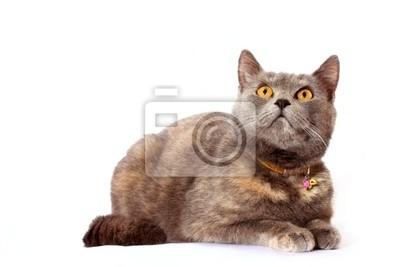 chat en colère assis sur fond blanc