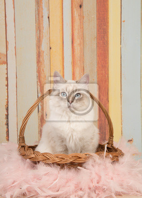 Chat ragdoll mignon avec des yeux bleus, regardant la caméra assis dans un panier de roseaux sur un fond de couleur pastel dans une image verticale