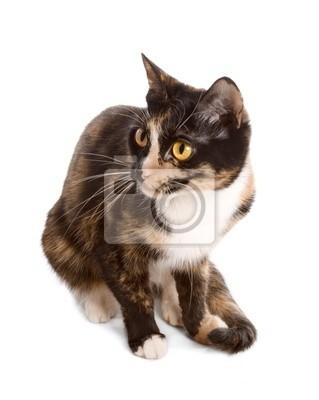 chat tricolore, assis sur fond blanc