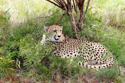 Papiers peints Cheetah 03