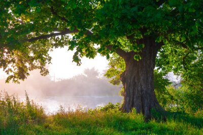 Papiers peints Chêne à feuilles en plein été, seul,