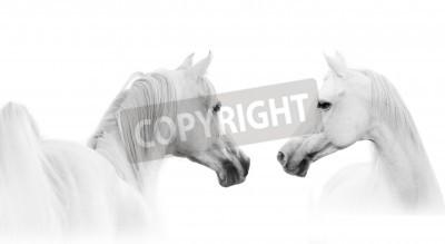 Papiers peints cheval blanc arabian