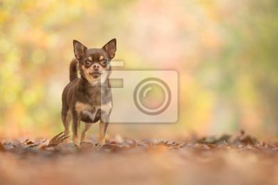 Chien chihuahua au chocolat assez debout, vu de face dans une forêt d'automne