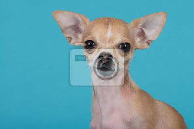 Chien Chihuahua au fond bleu
