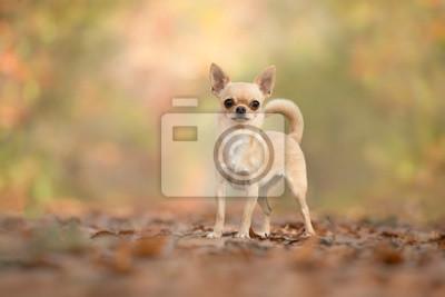 Chien chihuahua brun clair debout dans une forêt en automne en regardant la caméra