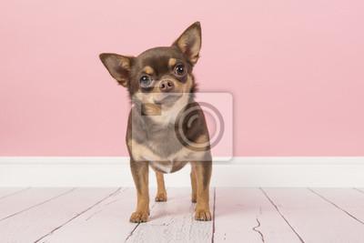 Chien chihuahua brun mignon debout et regardant directement dans la caméra dans un cadre de salon rose