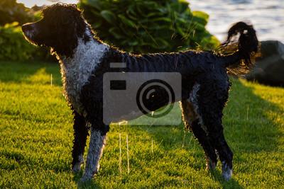 Chien Peint chien deau portugais papier peint • papiers peints trempage