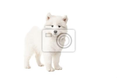 Chien de chien samoyé blanc mignon et mignon vu depuis le côté regardant la caméra isolé sur fond blanc