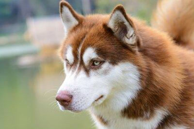 Papiers peints Chien, husky, brun, chien, debout