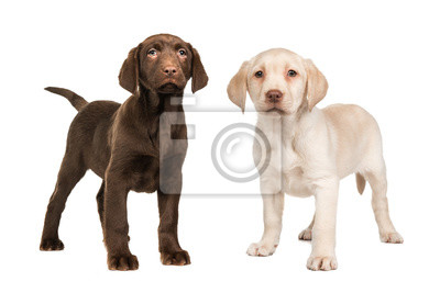 Chien labrador retriever blond et blond debout
