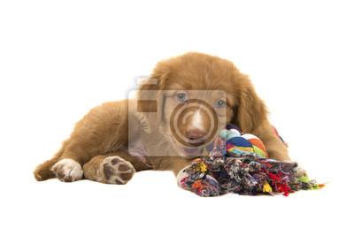 Chien mignon à la recherche d'un canard à la canneberie mignon, couché, vu du côté face à la caméra, tout en mâchant un jouet chien multicolore en corde tissée