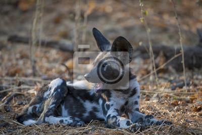 Chien Peint chien sauvage africain, chien de chasse africain, chien peint papier