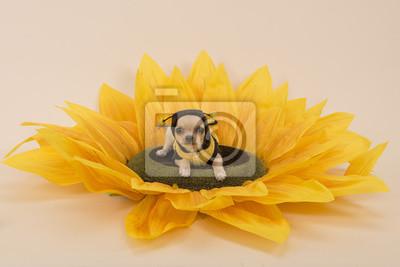 Chihuahua chien couché dans un tournesol habillé comme une petite abeille