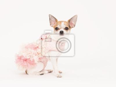 Chihuahua, chien, habillé, rose, blanc, robe, blanc, fond