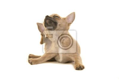 Chihuahua chiot chien se grattant isolé sur fond blanc