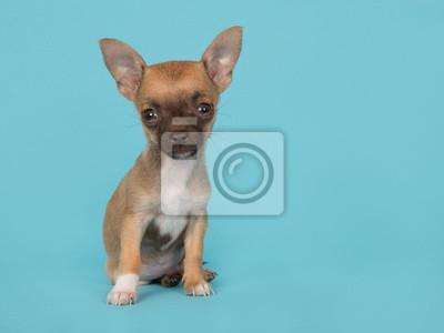 Chihuahua, Chiot, séance, regarder, mignon, bleu, fond