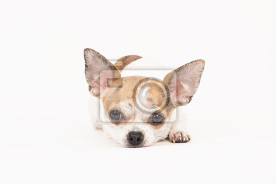 Chihuahua couché