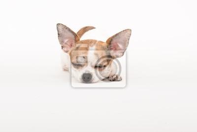 Chihuahua de sommeil