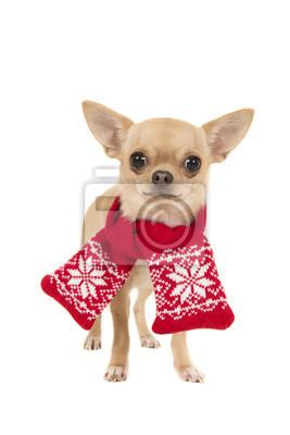 Chihuahua debout, vêtu d'une écharpe en laine rouge et blanche en regardant la caméra isolée sur fond blanc