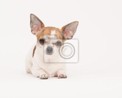 Chihuahua, mensonge, blanc cassé