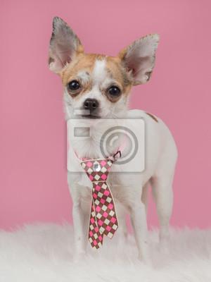 Chihuahua porter une cravate avec un fond rose