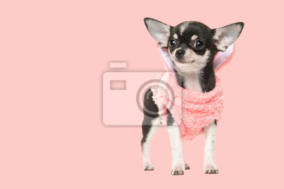 Chihuahua puppy waring a pink sweater facing the camera on a pink background