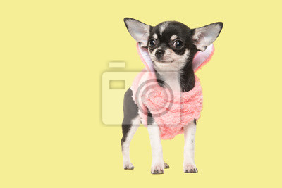 Chihuahua puppy waring a pink sweater facing the camera on a yellow background
