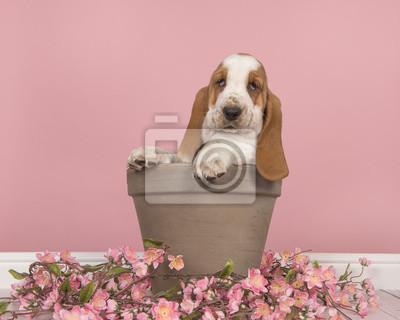 Chiot basset hound rouge et blanc mignon assis dans un pot de fleur marron avec des fleurs roses dans un cadre de salon rose