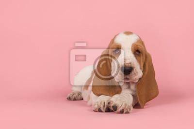 Chiot basset mignon couché vu de face en regardant la caméra sur un fond rose
