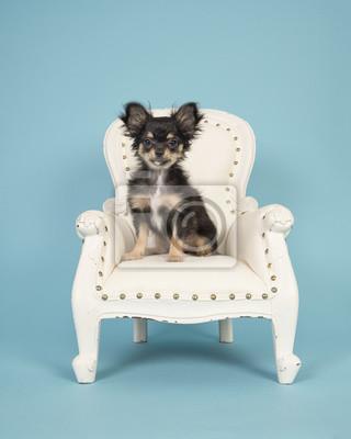 Chiot chihuahua mignon assis dans un fauteuil blanc sur un fond bleu