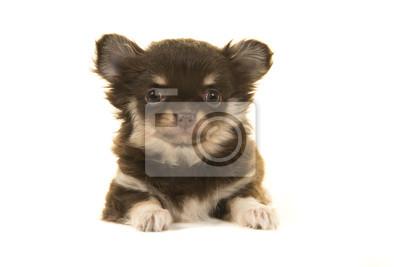 Chiot chihuahua mignon couché vu de face en regardant la caméra sur un fond blanc