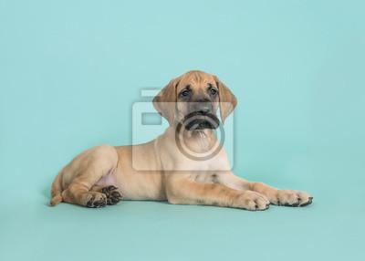 Chiot Dogue Allemand mignon couché vu de côté sur un fond bleu turquoise