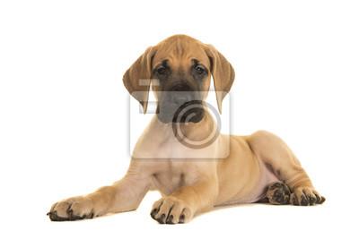Chiot Dogue jaune assez couché en regardant la caméra isolée sur fond blanc