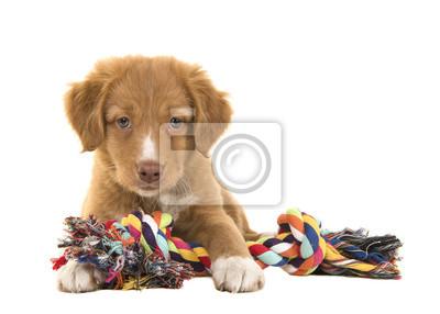 Chiot mignon à la chasseilleur de canard à la Nouvelle-Écosse vu de l'avant face à la caméra couché sur le sol tenant un jouet de corde tissé multicolore