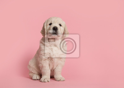 Chiot mignon retriever doré en regardant la caméra assis sur un fond rose