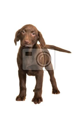 Chocolat, brun, labrador, retriever, chiot, marche, vers, vous, isolé, blanc, fond