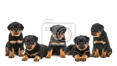 Cinq chiens mignons rottweiler chiot dans une rangée assise et de couchage isolé sur un fond blanc