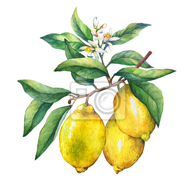 Citron frais d'agrumes sur une branche avec des fruits, des feuilles vertes, des bourgeons et des fleurs. Main, tiré, aquarelle, peinture, blanc, fond
