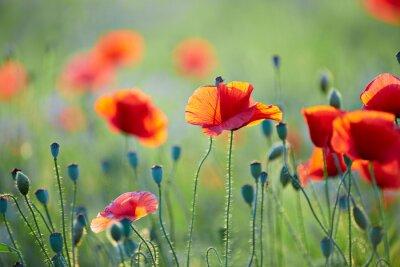 Papiers peints Close up od fleur de pavot
