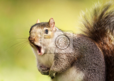 Papiers peints Close up of a grey squirrel yawning